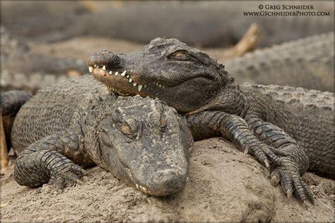 alligators sleep picture 5