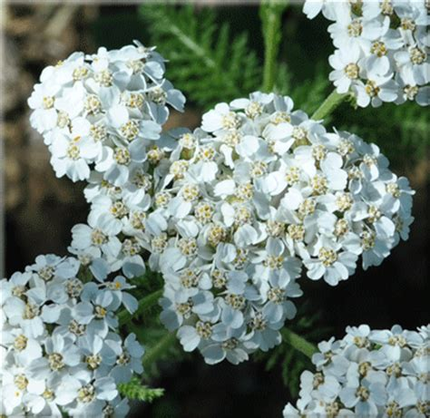 white yarrow flower essence canada picture 9