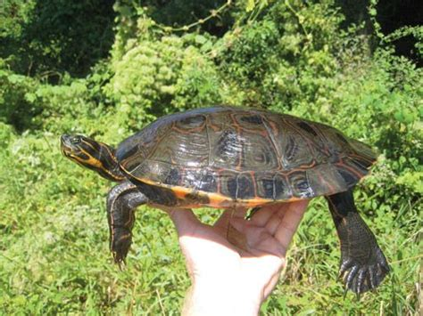 diet of the river cooter turtles picture 9