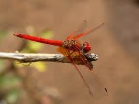 biddy dragonfly diet picture 7