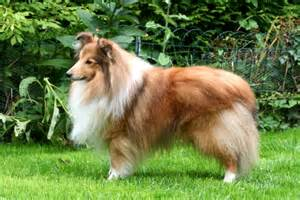 shelties h picture 9