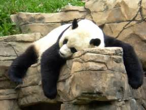 how much do giant pandas sleep picture 6