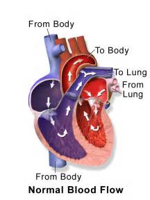 cardiac blood flow picture 6