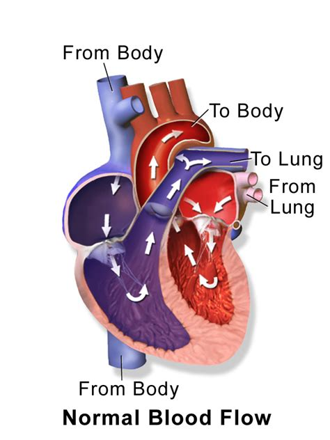 Animation of blood flow though heart picture 3