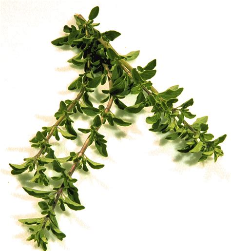 fenugreek and thyme picture 10