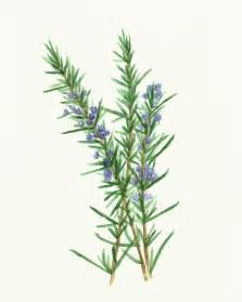 printable herbal clipart picture 5