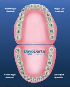 chart of your teeth picture 6
