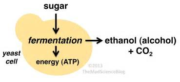 yeast cell use sugar as food source picture 2