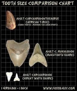 t rex teeth info picture 3