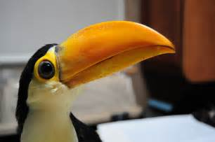 diet of a toucan picture 14