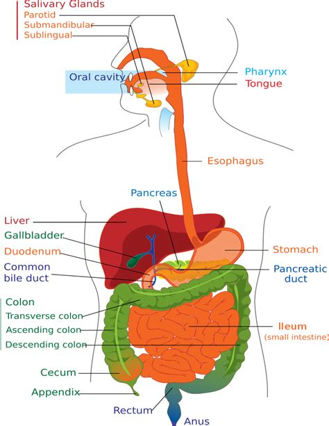 digestive tract diagram picture 2