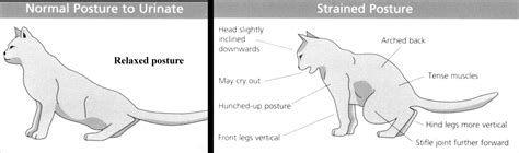 feline bladder disorders picture 9