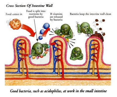 clean out bacteria intestinal tract picture 7