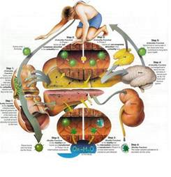 detoxifying the liver picture 2