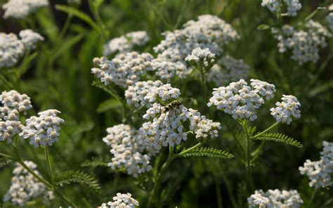 yarrow picture 11