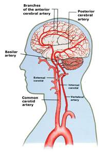 blood circulation in the brain picture 1