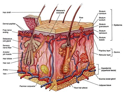 cross section of human skin picture 13