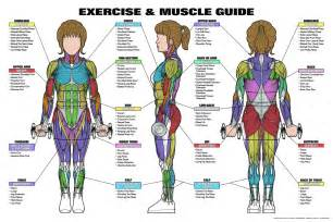 muscle chart picture 19