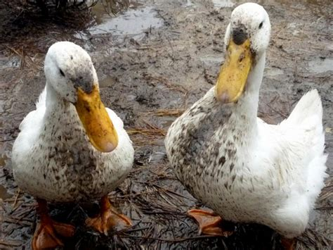 do ducks have h picture 14