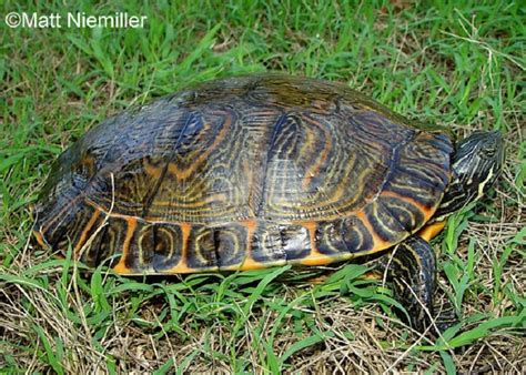 diet of the river cooter turtles picture 5