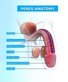 anatomy penis picture 13