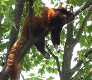 does a racoon sleep in a tree picture 10