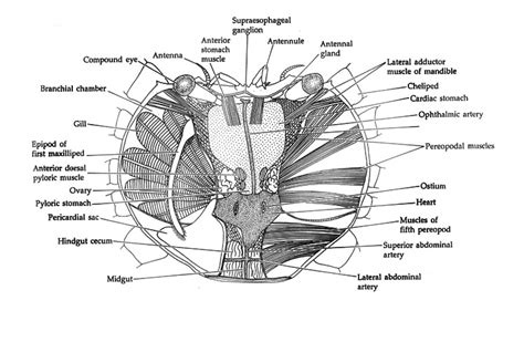crab digestion picture 14