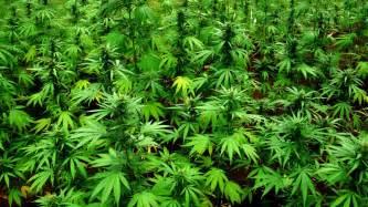 marijuana picture 9
