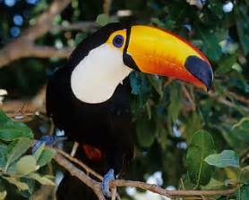 diet of a toucan picture 7