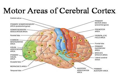 cerebral blood flow motor cortex picture 19