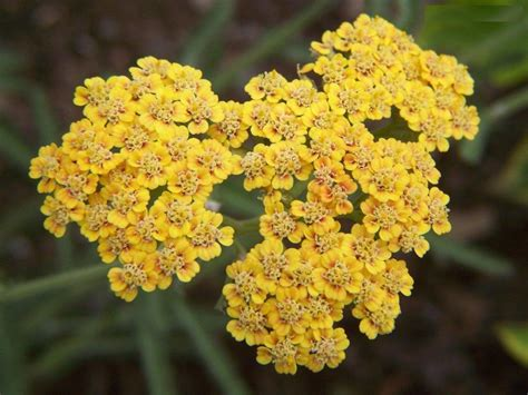 yarrow picture 15