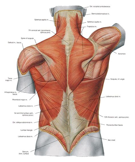 creative interior back muscle picture 19