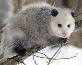 pictures of opossum h picture 2