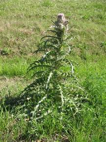 edible scotch thistle picture 1