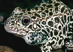 amphibian skin spots picture 15