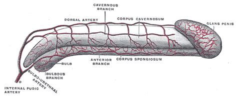 show and identify the various components of the male penis picture 14