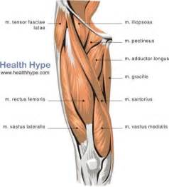 leg adductor muscle picture 2
