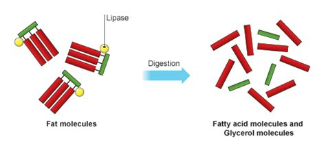 digestion of fat by lipase picture 6