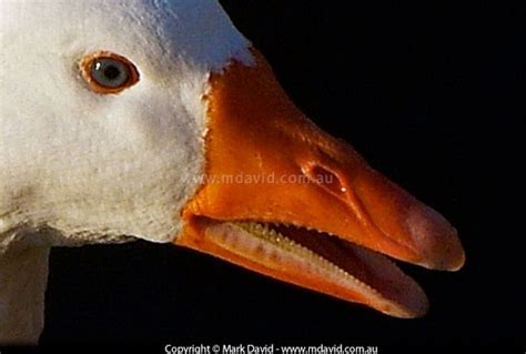 do geese have h picture 7