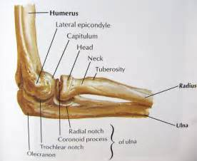 elbow joint picture 2