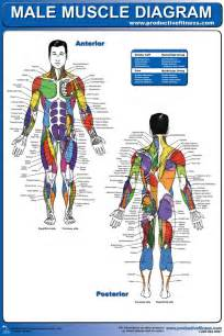 muscle groups picture 6
