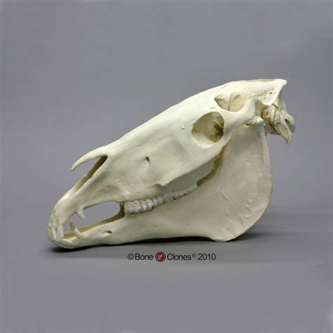 camel teeth pictures picture 3