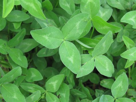 Red Clover Leaf picture 6