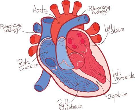 feline hyperthyroid heart murmur picture 10