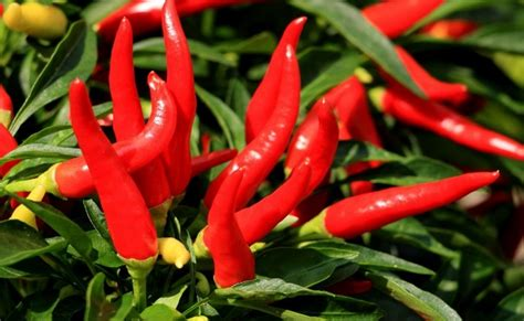 Cayenne pepper to lower blood pressure picture 11