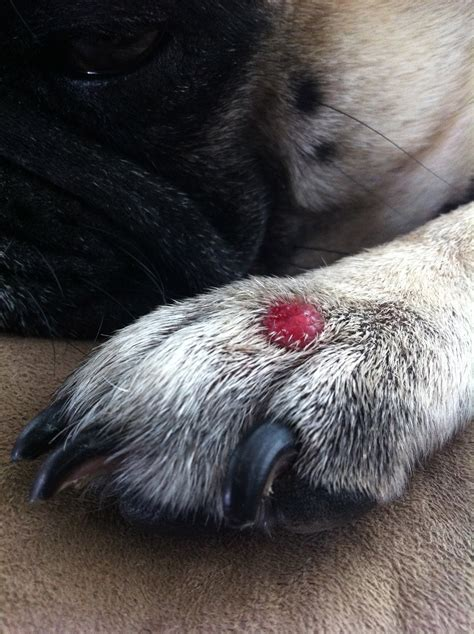 warts on dogs picture 18