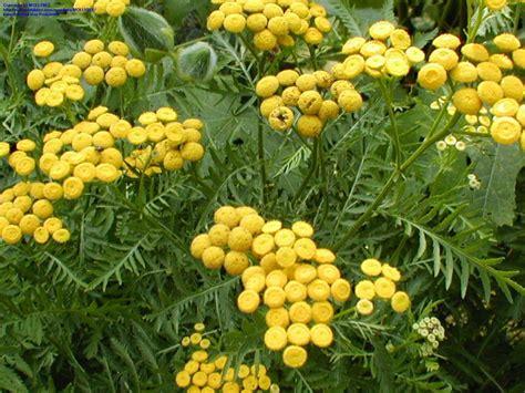 achillea filipendulina herbal use picture 13