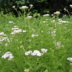 white yarrow picture 15