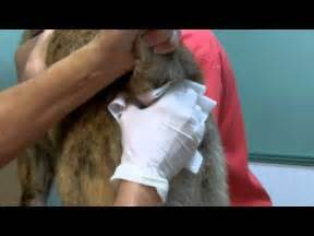 cats parathyroid glad tumor picture 3