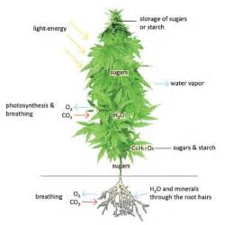 marijuana plant and how to smoke picture 2